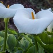 Calla Lilies in Big Sur